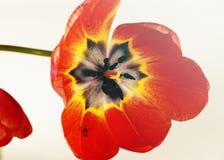 Tulipán grande 2 Fotos de archivo