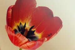 Tulipán grande 3 Fotos de archivo