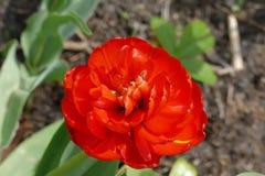 Tulipán grande Fotografía de archivo