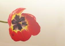 Tulipán grande Foto de archivo