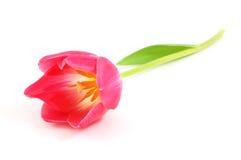 Tulipán hermoso Fotos de archivo