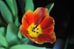 Tulipán hermoso Imagen de archivo libre de regalías