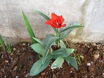 Tulipán hermoso Imagenes de archivo