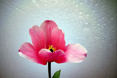 Tulipán hermoso por primavera Fotos de archivo
