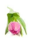Tulipán holandés rosado Imagen de archivo libre de regalías