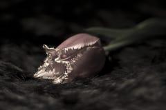 Tulipán lanudo raro en fondo negro Imagenes de archivo