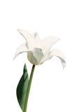 Tulipán lirio-florecido violeta en el fondo blanco Imágenes de archivo libres de regalías