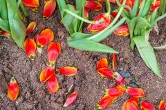 Tulipán marchitado a finales de la estación imagen de archivo