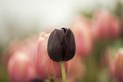 Tulipán negro imagen de archivo libre de regalías
