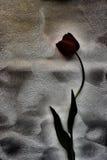 Tulipán negro Foto de archivo