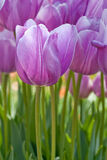 Tulipán púrpura Fotos de archivo