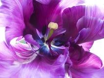 Tulipán púrpura Fotos de archivo libres de regalías
