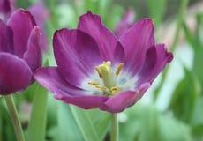 Tulipán púrpura con el bokeh Fotos de archivo