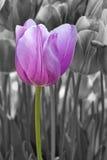 Tulipán púrpura con el fondo blanco y negro Fotografía de archivo