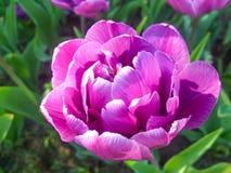 Tulipán púrpura de Terry en el jardín Foto de archivo