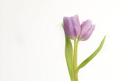 Tulipán púrpura del gemelo de la lila Imagen de archivo