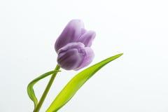 Tulipán púrpura del gemelo de la lila Foto de archivo libre de regalías