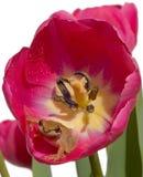 Tulipán perfectamente rosado del ~ del hogar de la rana de árbol aislado en blanco Fotografía de archivo
