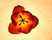 Tulipán que brilla intensamente imágenes de archivo libres de regalías