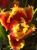 Tulipán que remolina Imagen de archivo libre de regalías