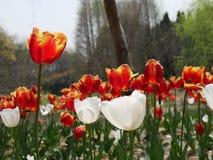 Tulipán que se coloca alto entre la muchedumbre Fotos de archivo