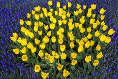 Tulipán Ramo hermoso de tulipanes Fotografía de archivo