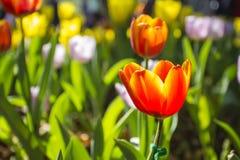 Tulipán Ramo hermoso de tulipanes Tulipanes coloridos tulipanes en la primavera, tulipán colorido Imagen de archivo libre de regalías