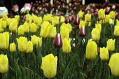 Tulipán Ramo hermoso de tulipanes Tulipanes coloridos tulipanes en s fotos de archivo