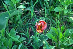 Tulipán rococó Imágenes de archivo libres de regalías