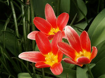 Tulipán rojo #02 Fotos de archivo libres de regalías