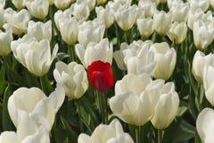 Tulipán rojo. Fotografía de archivo