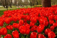 Tulipán rojo fotos de archivo libres de regalías