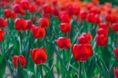 Tulipán rojo Foto de archivo