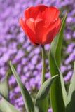 Tulipán rojo Fotografía de archivo