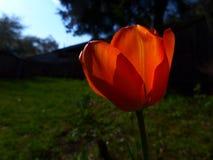 Tulipán-rojo Imágenes de archivo libres de regalías