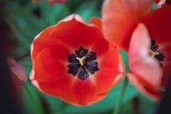 Tulipán rojo fotografía de archivo libre de regalías