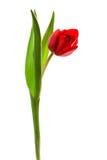 Tulipán rojo Fotos de archivo