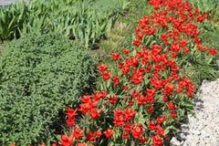 Tulipán rojo #01 Imagen de archivo libre de regalías