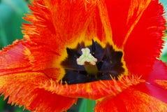 Tulipán rojo Imagenes de archivo