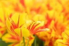Tulipán rojo amarillo en una cama de flor Imagen de archivo libre de regalías