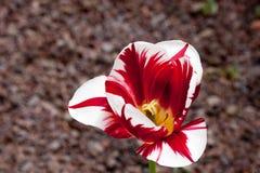 tulipán Rojo-blanco foto de archivo