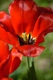 Tulipán rojo brillante en el sol fotografía de archivo