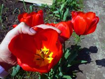 Tulipán rojo brillante grande en la mano Imagen de archivo