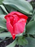 tulipán rojo cerrado fotos de archivo