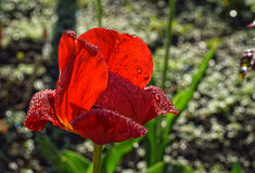 Tulipán rojo con gotas de rocío foto de archivo libre de regalías