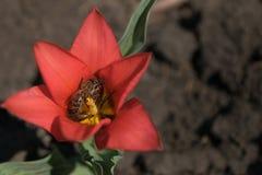 Tulipán rojo con la abeja dentro Fotografía de archivo libre de regalías