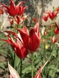 Tulipán rojo con los pétalos acentuados foto de archivo
