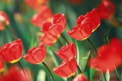 Tulipán rojo contra la luz Foto de archivo