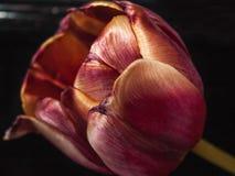 Tulipán rojo del cierre-upRed del tulipán Fotos de archivo