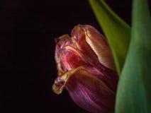 Tulipán rojo del cierre-upRed del tulipán Foto de archivo libre de regalías